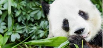 Honorary Panda Keeper