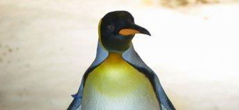 Meet the Penguin